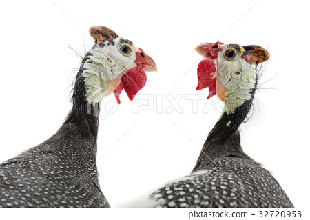 two portrait Guinea fowl 32720953