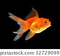 背景 鱼 黄金 32729099
