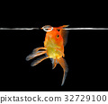 gold fish isolated on black background 32729100