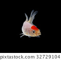 gold fish isolated on black background 32729104