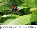 mating, butterfly, insect 32730642