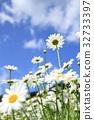青空に向かって咲く白い野の花、群生するフランス菊 32733397
