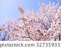 櫻花 櫻 賞櫻 32735933