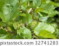 잎, 녹색, 과수 32741283