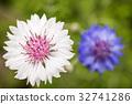 꽃, 꽃잎, 국화과 32741286