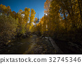 aspen, maple, yellow leafe 32745346