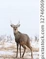 hokkaido sika, deer, wildlife 32746069