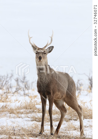 hokkaido sika, deer, wildlife 32746071