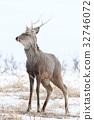 hokkaido sika, hokkaido deer, hokkaido shika (deer) 32746072