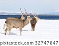 hokkaido sika, deer, wildlife 32747847