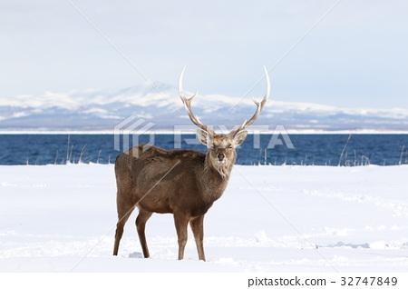 hokkaido sika, deer, wildlife 32747849