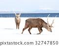 hokkaido, sika, deer 32747850