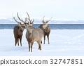 hokkaido sika, deer, deers 32747851