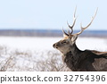 Ezo deer (male) that lives in the winter of Nosuke Peninsula 32754396
