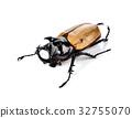 fighting beetle (rhinoceros beetle) isolated 32755070