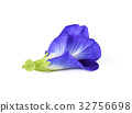 Butterfly Pea isolated on white background 32756698