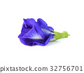Butterfly Pea isolated on white background 32756701