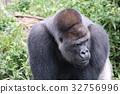 大猩猩 哺乳動物 猭 32756996