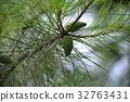 솔방울, 소나무, 종자 32763431