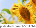sunflower, sunflowers, bloom 32764766