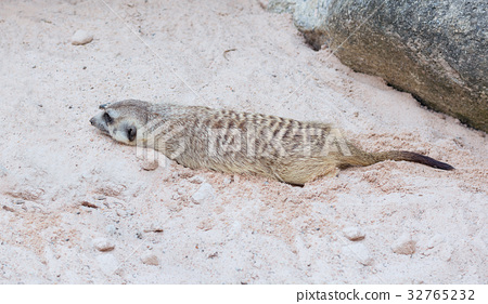Cute light brown Meercat rest in the desert sun 32765232