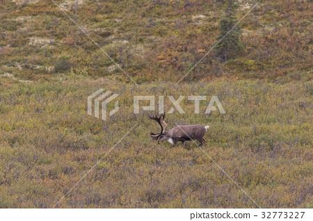 Caribou Bull in Velvet 32773227