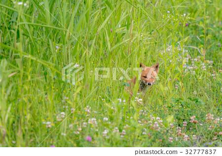 Summer Child Fox 7 32777837