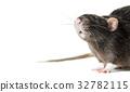 Animal gray rat close-up 32782115