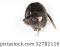 Animal gray rat close-up 32782116