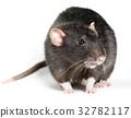 Animal gray rat close-up 32782117
