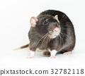 Animal gray rat close-up 32782118