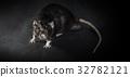 Animal gray rat close-up 32782121