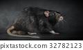 Animal gray rat close-up 32782123