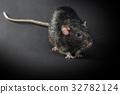Animal gray rat close-up 32782124
