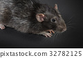 Animal gray rat close-up 32782125