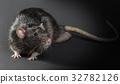 Animal gray rat close-up 32782126
