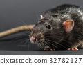 Animal gray rat close-up 32782127