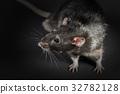 Animal gray rat close-up 32782128