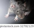 Animal gray rat close-up 32782129