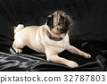Cute pug dog  lying on black background looking up 32787803