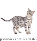 Bengal cat standing sideways 32788363