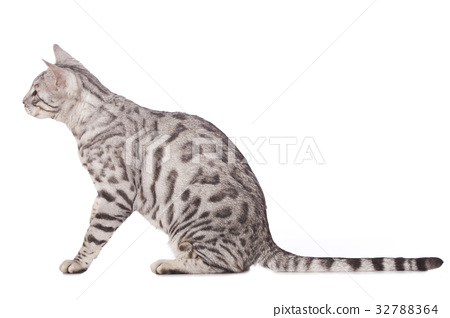 Bengal cat sitting sideways 32788364
