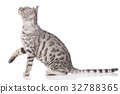 Bengal cat sitting sideways with paw up 32788365