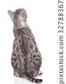 back, bengal, cat 32788367
