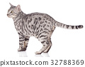 Bengal cat standing sideways 32788369
