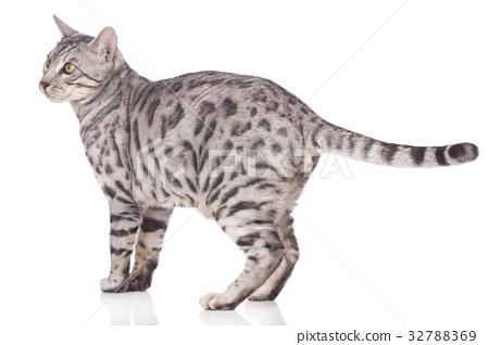 Bengal cat standing sideways 32788369