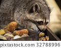 A raccoon while eating 32788996