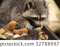 A raccoon while eating 32788997