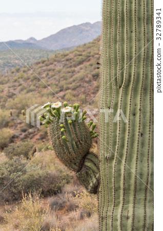 Saguaro Cactus in Bloom 32789341