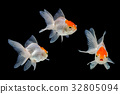 Gold fish isolated on a black background 32805094